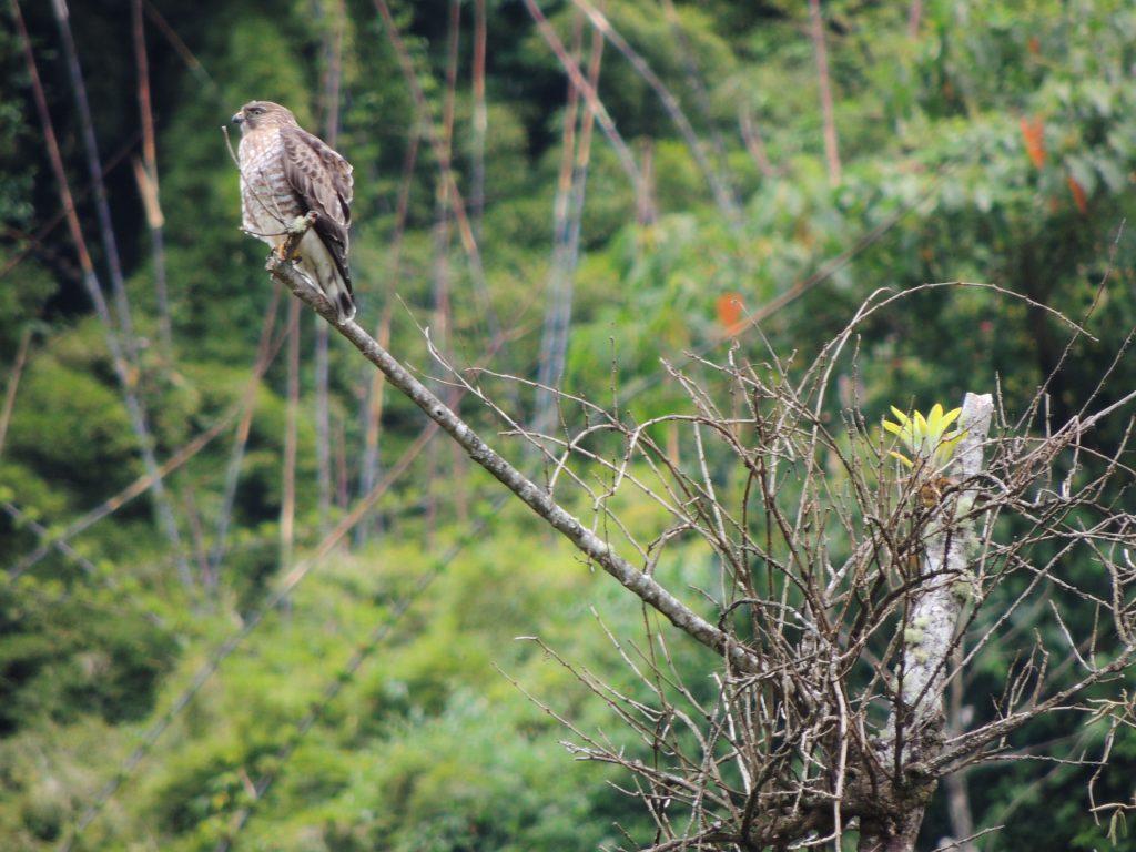 Broad-winged Hawk. Wintering in Panama