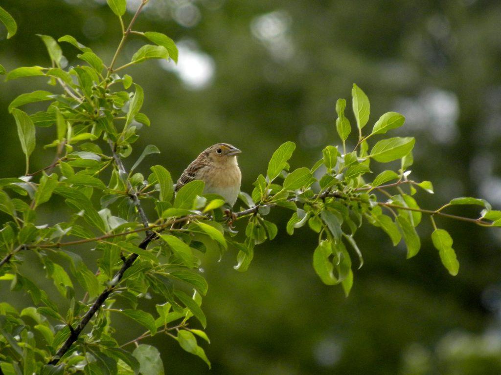 Grasshopper Sparrow.
