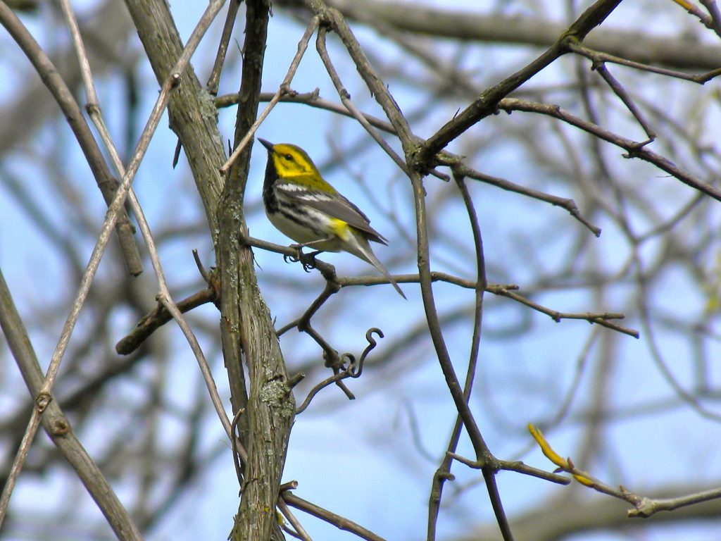 Black -throated Green Warbler May 2 2012
