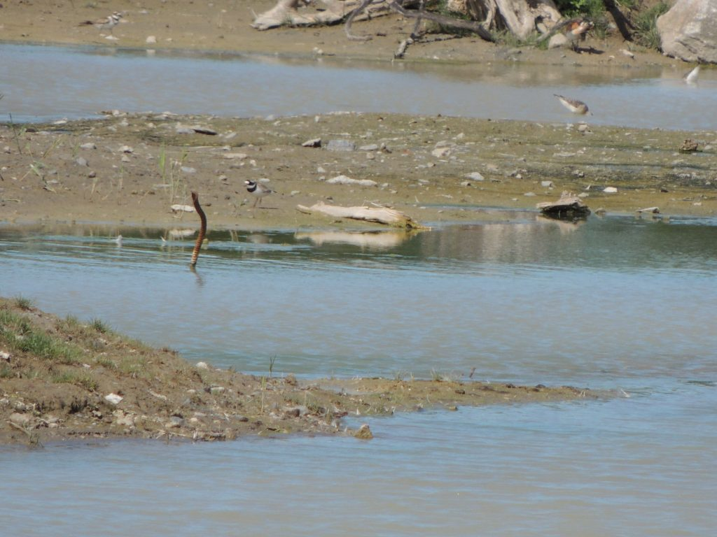 Common Ringed Plover. (to right of the iron bar sticking out of the water's edge)