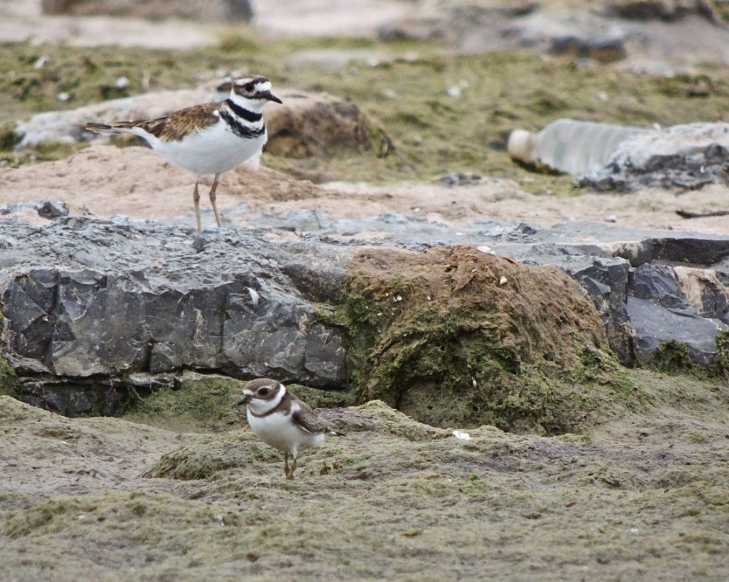 Killdeer (supervising) & Semipalmated Plover (foreground)