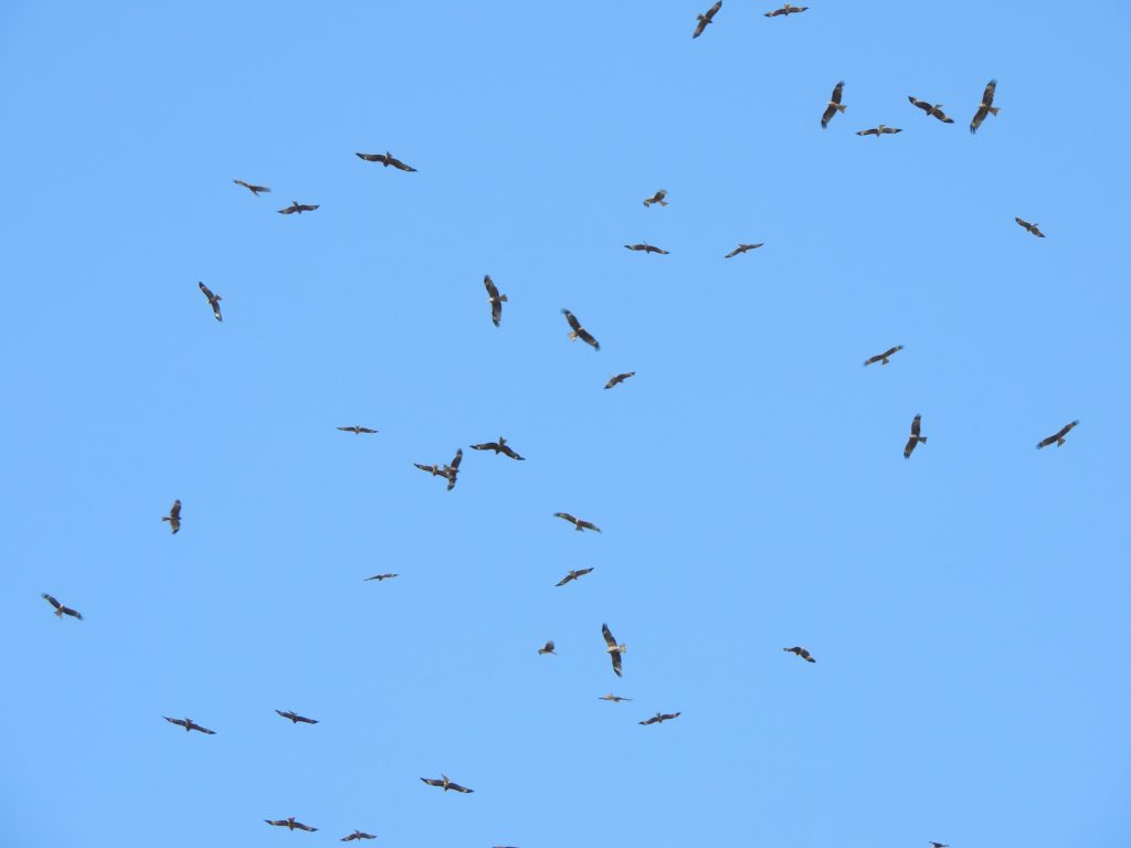 Black Kites - a few of thousands
