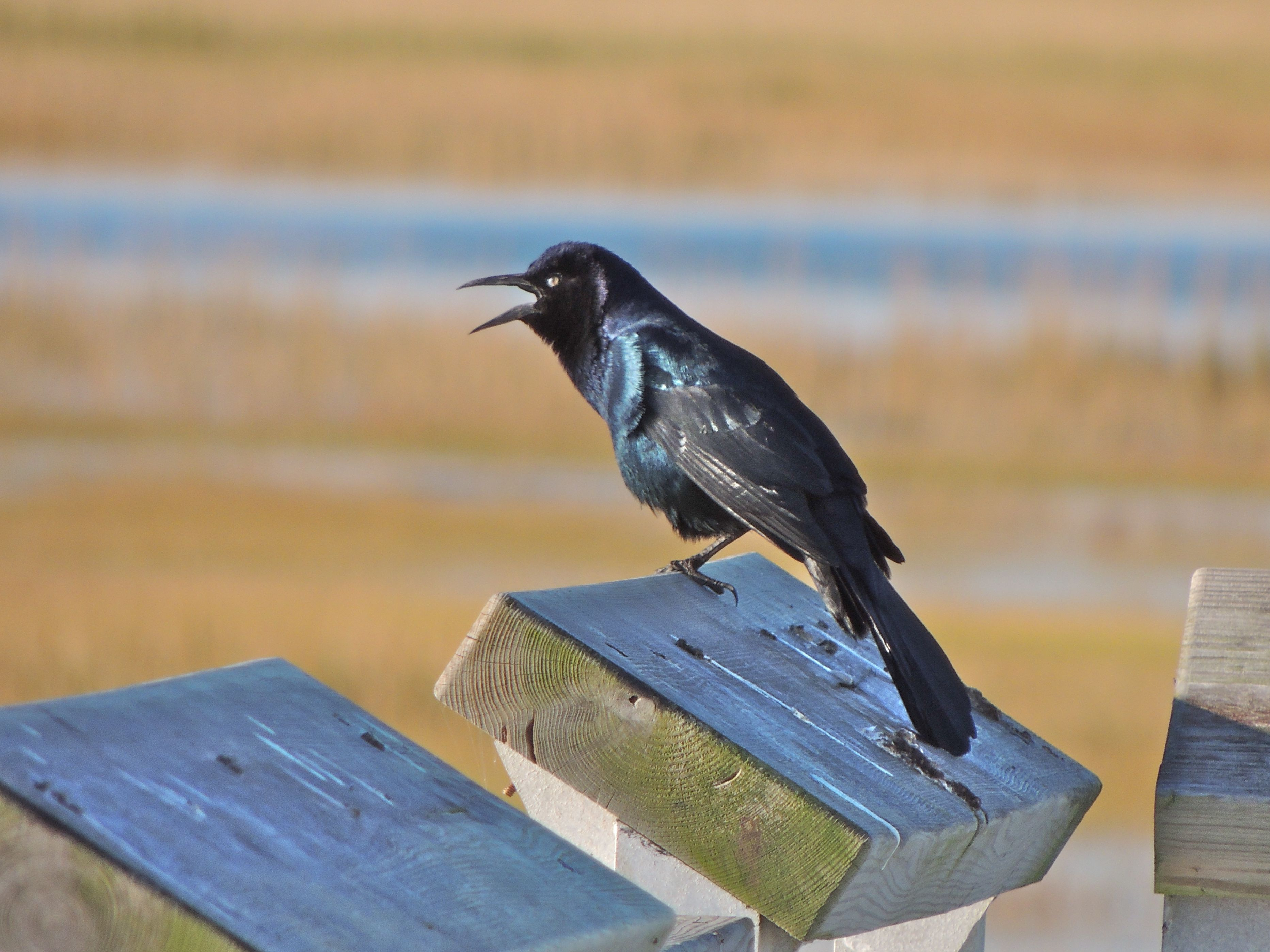 boat-tailed grackle | My Bird of the Day  boat-tailed gra...