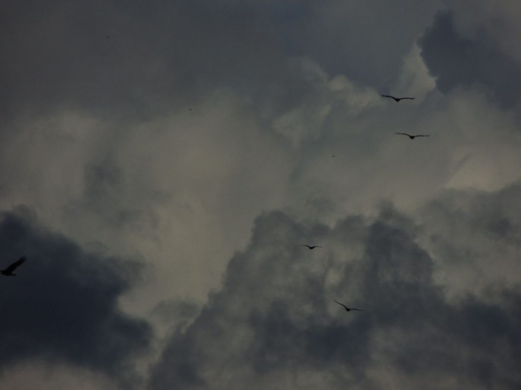 Turkey Vultures in an October sky