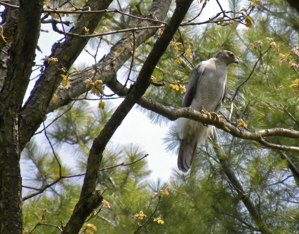 Northern Goshawk. Photographed in spring not far from its nest site