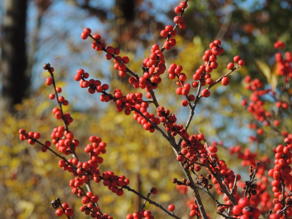 Winterberry Holly - Ilex verticillata