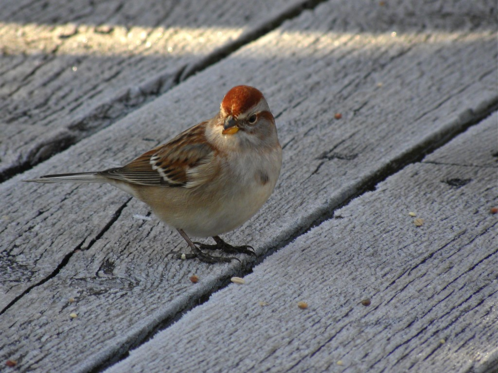 American Tree Sparrow . A small brown bird, but really very pretty
