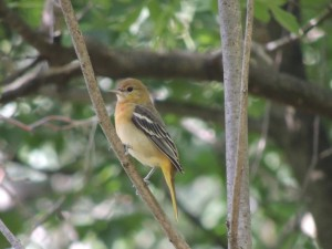 Young female Baltimore Oriole