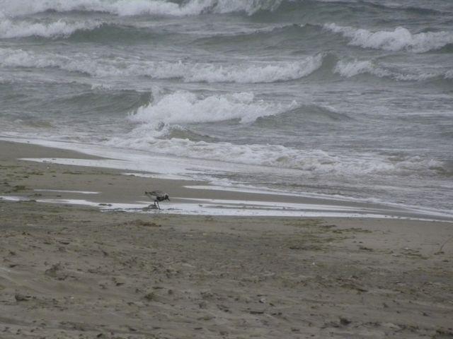 Black bellied Plover.  September 2011