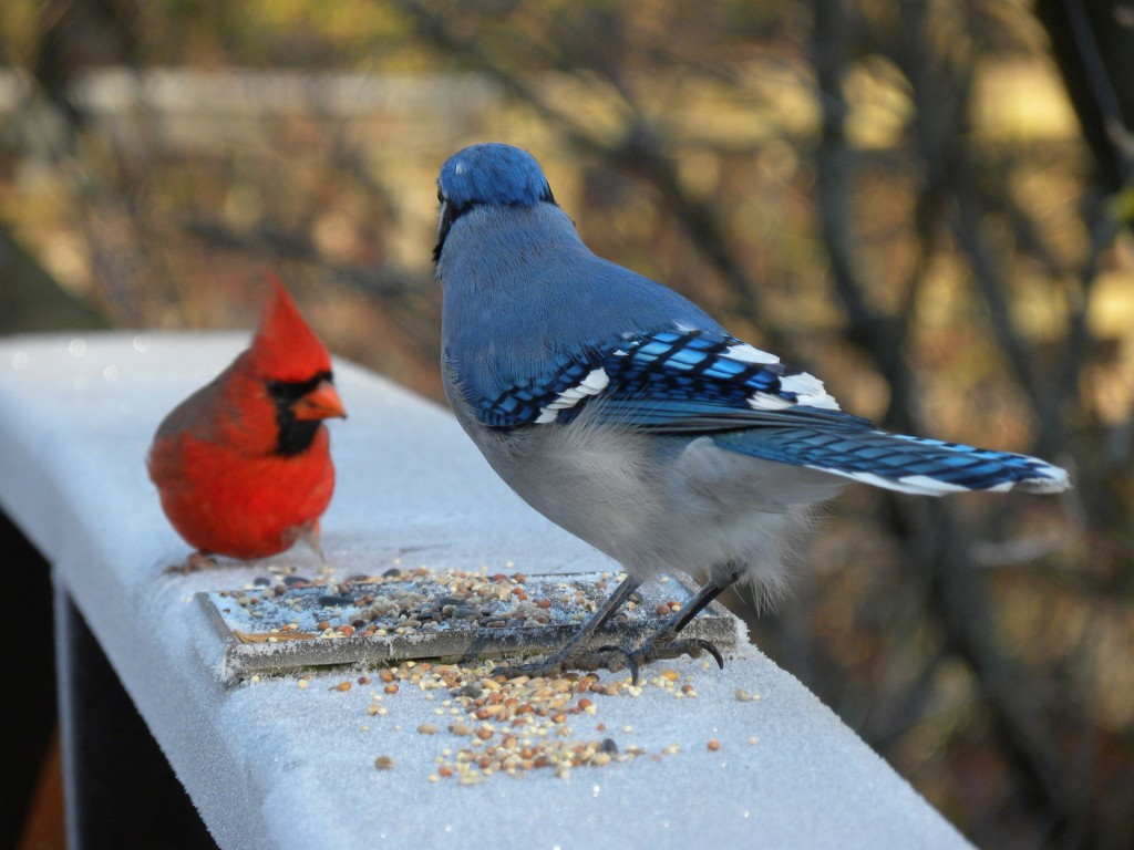 Blue Jay and Northern Cardinal. Almost a Christmas Card shot