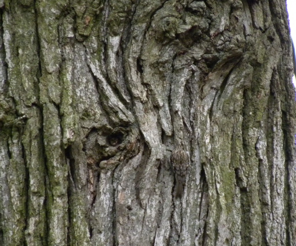 Brown Creeper - it's there, really.