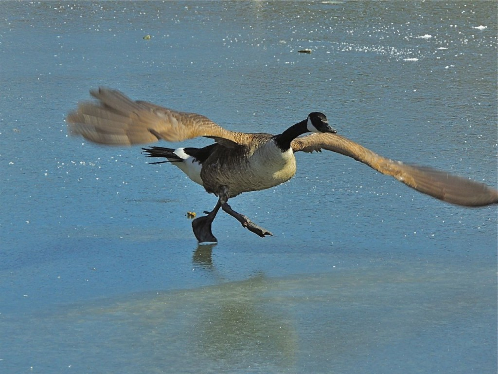 Canada Goose take off on ice