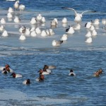 Canvasbacks and mixed flock of gulls