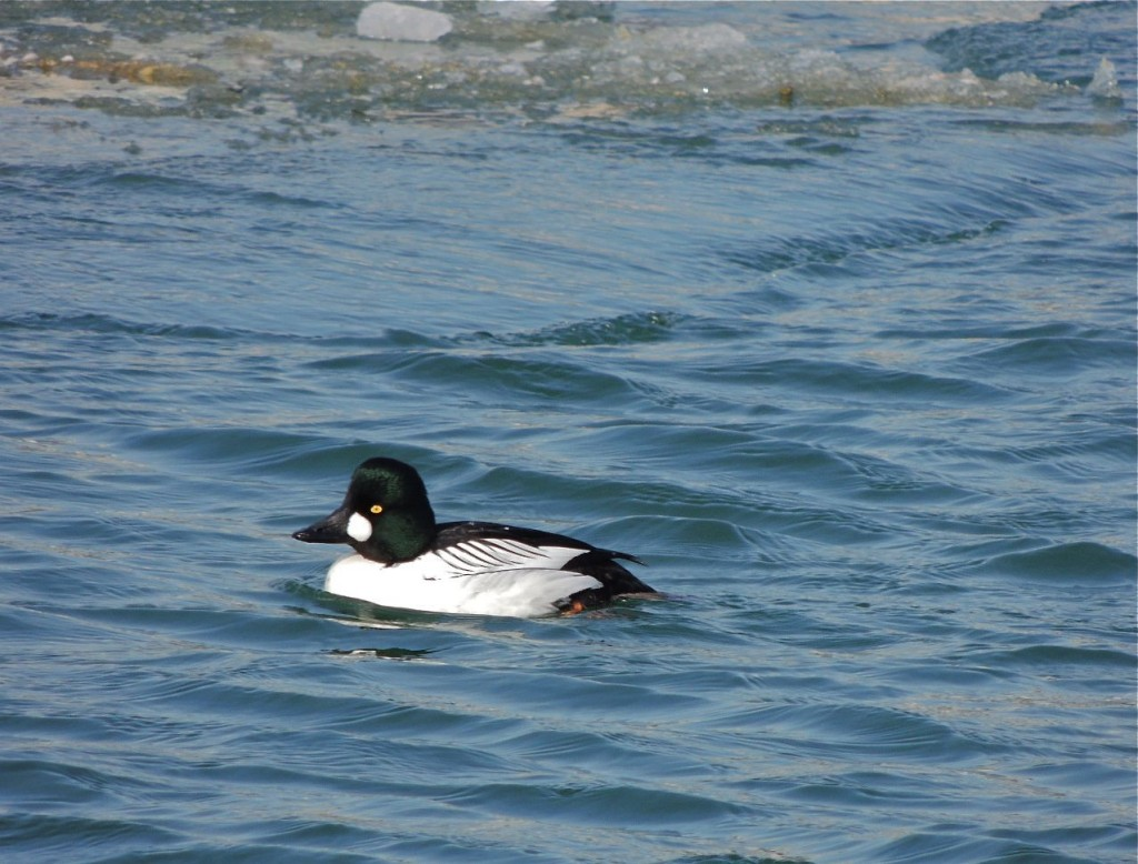 Common Goldeneye (m)
