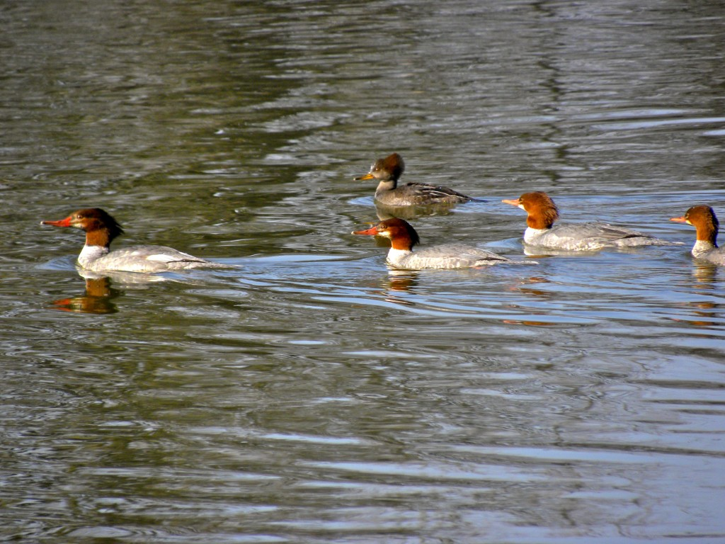 Common Mergansers & a Hooded merganser. A good study in the difference between the species.