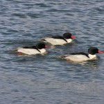 Male Common Mergansers