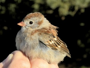 Field Sparrow.  The all-pink bill is a good field mark.