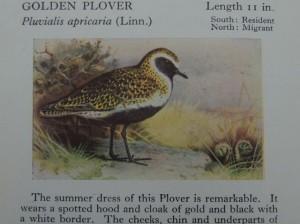 Golden Plover illus'n