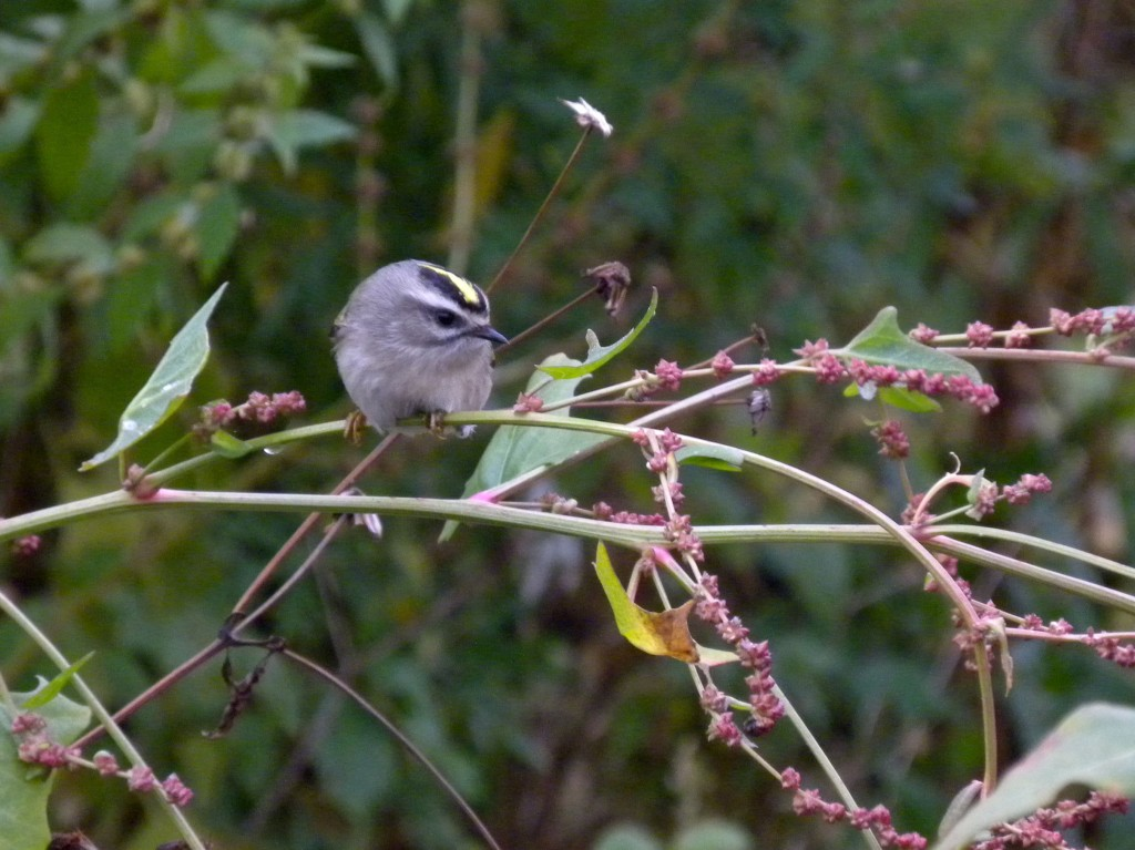 Golden-crowned Kinglet.  Probably a female. 50/50 chance anyway