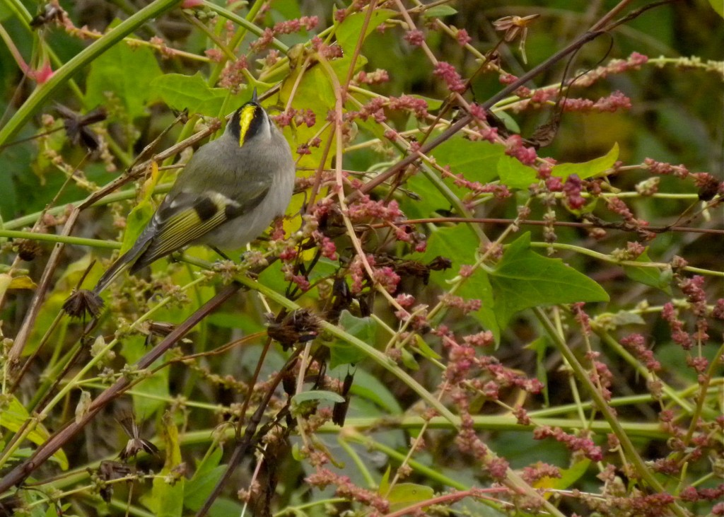 Golden-crowned Kinglet.  You don't often see the yellow in the flight feathers like this.