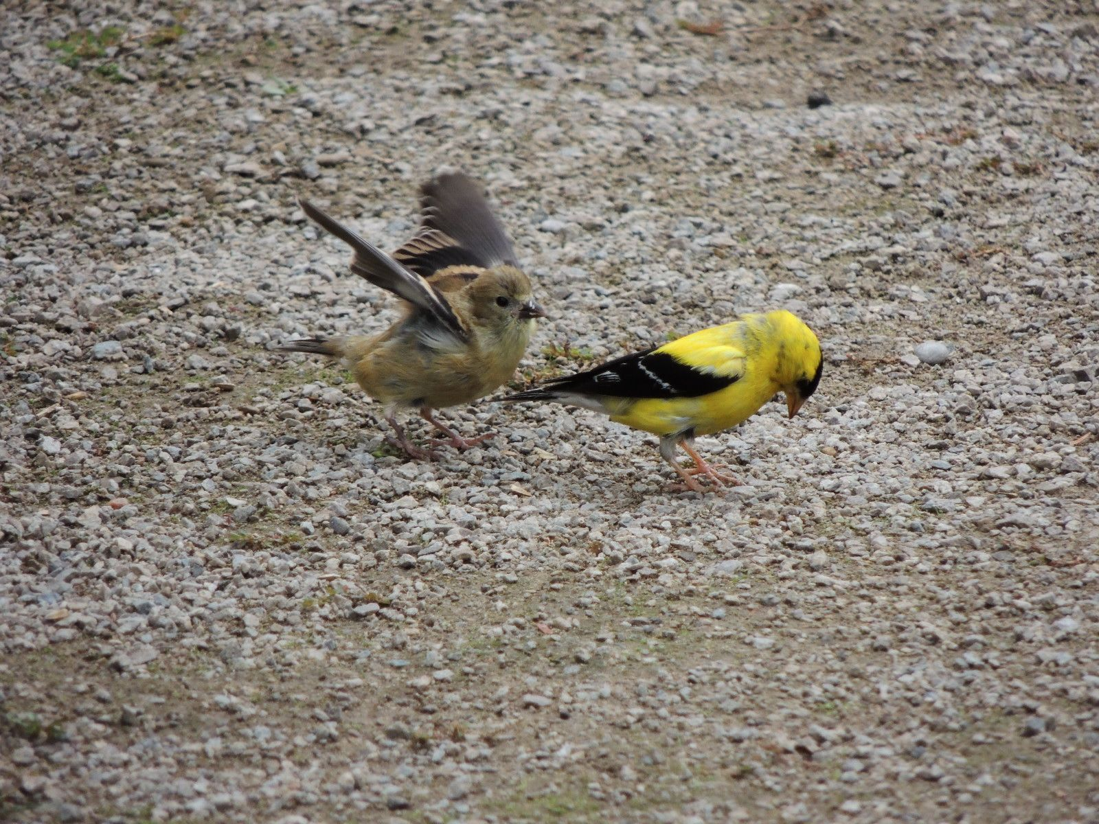 Goldfinch and hungry young