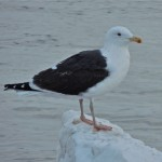 Great-Black-backed Gull