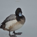 Greater Scaup (M)- note extent of black tip of its bill