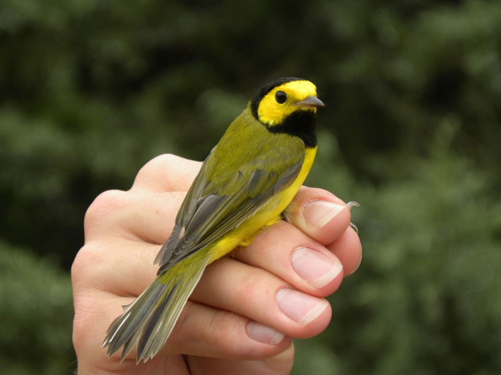 Hooded Warbler - a spectacular just banded male.
