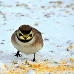 Horned Lark Duxbury Rd Feb 8 2014