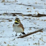 Horned Lark Duxbury Rd Feb 8 2014-2