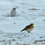 Horned Lark Duxbury Rd Feb 8 2014-3