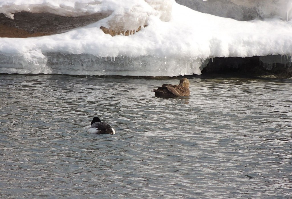 Lesser Scaup and King Eider (back)