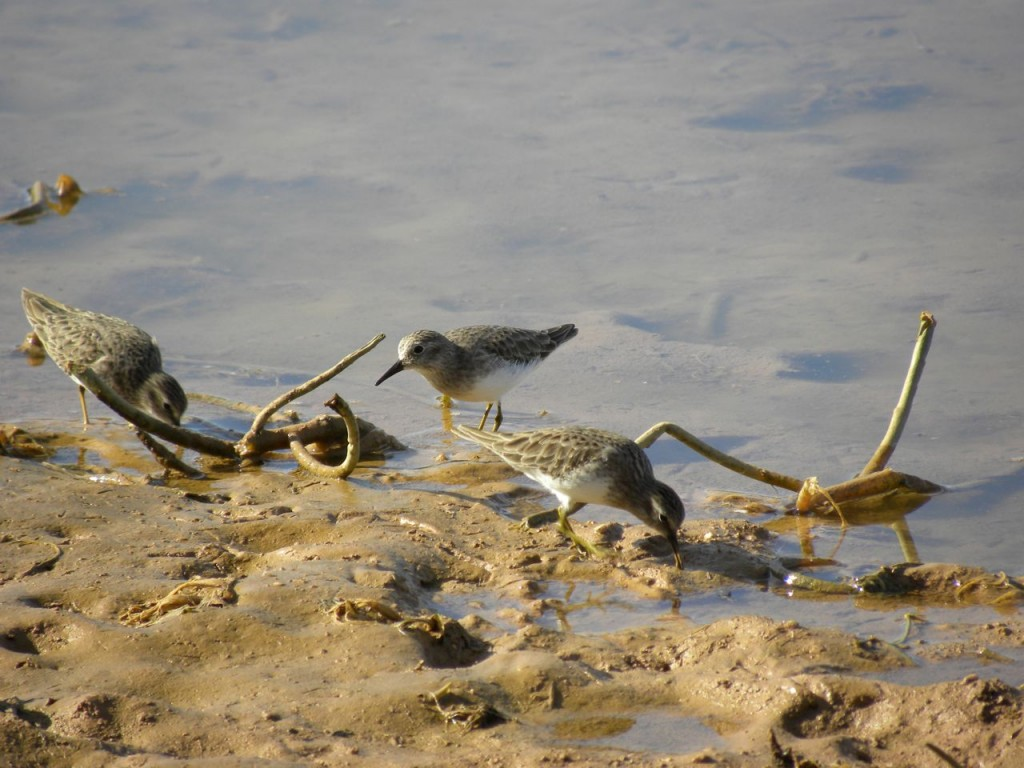 Least Sandpipers Gilbert AZ
