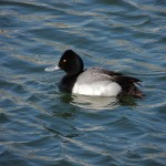 Lesser Scaup (M) - note pointy head profile