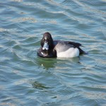 Lesser Scaup (M) - note narrow black tip of its bill