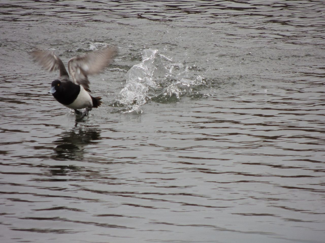 Lesser Scaup at take off