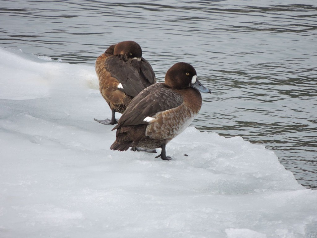 Greater  Scaup (f)