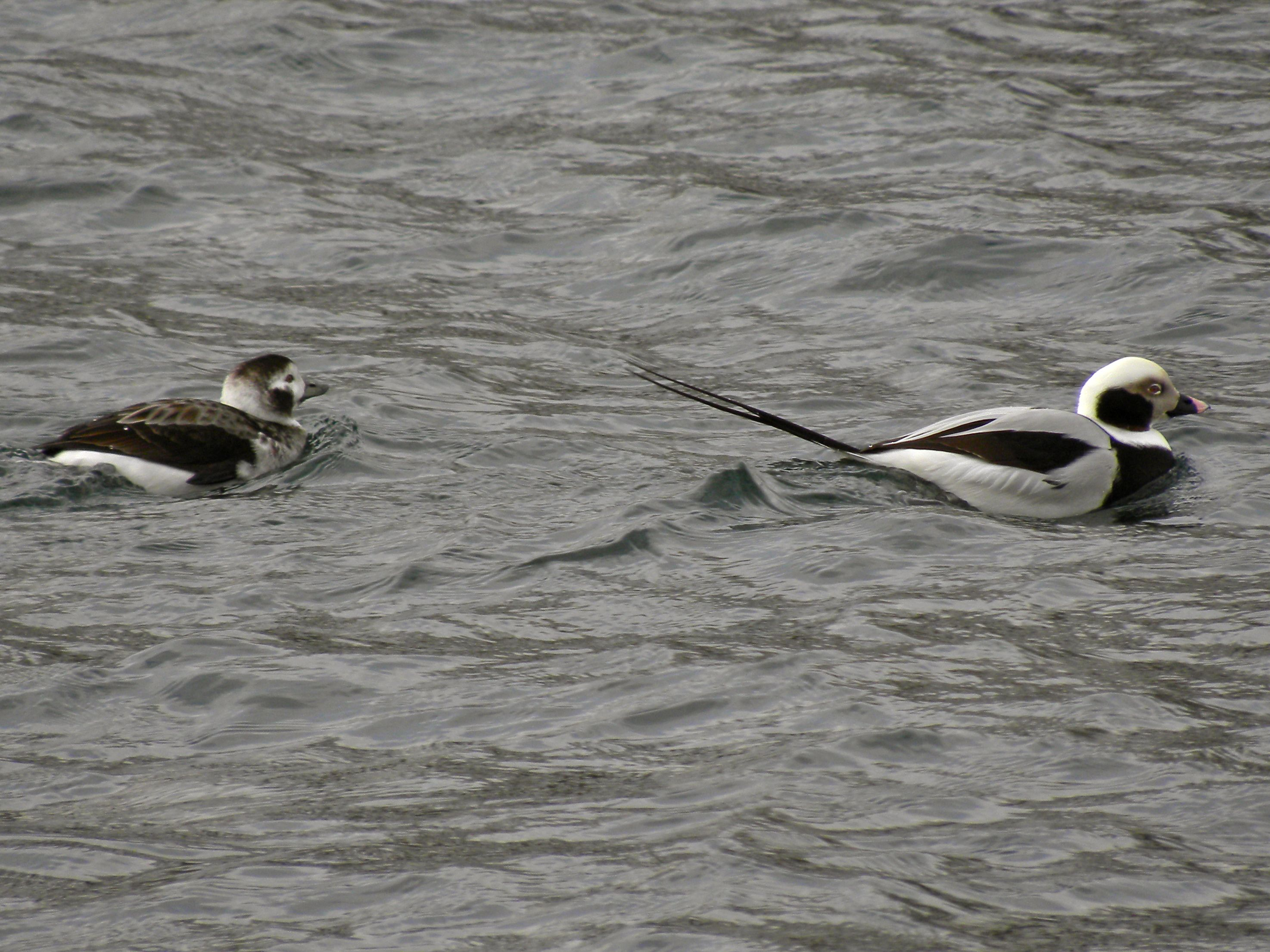 Female & male Long-tailed Duck