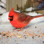 Northern Cardinal -male