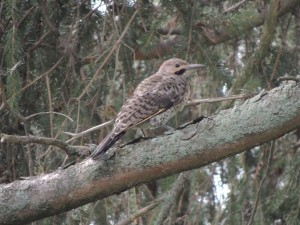 Young male Northern Flicker