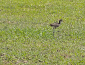 Young Northern Jacana