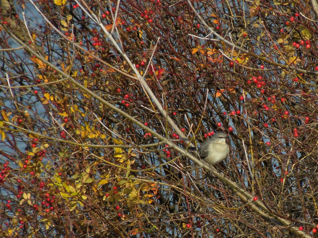 Northern Mockingbird singing its fall song