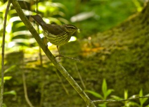 Northern Waterthrush carrying food for young