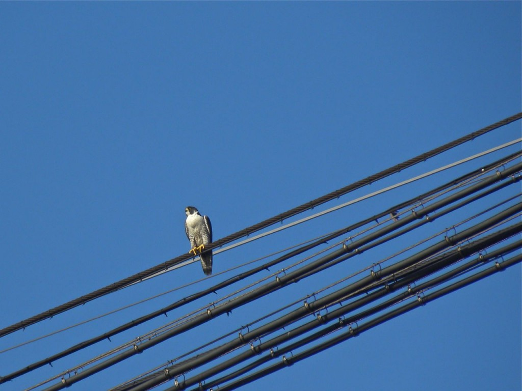 Peregrine Falcon (f) over canal