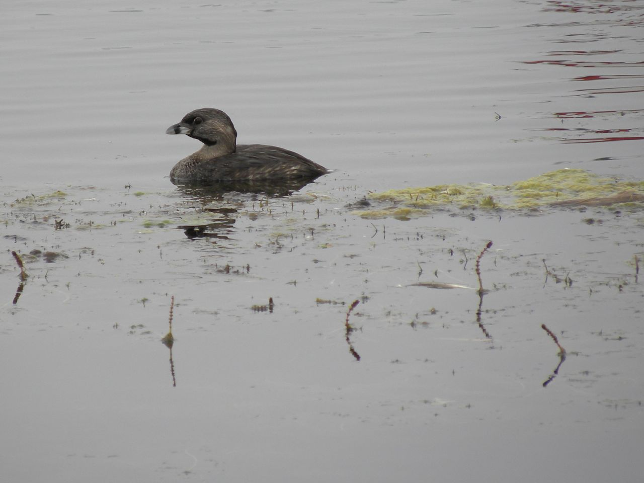 Pied-billed-Grebe