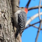 Red-bellied Woodpecker-2