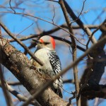 Red-bellied Woodpecker-3