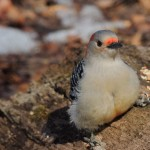 Red-bellied Woodpecker. At this angle you can just make out the red on its belly