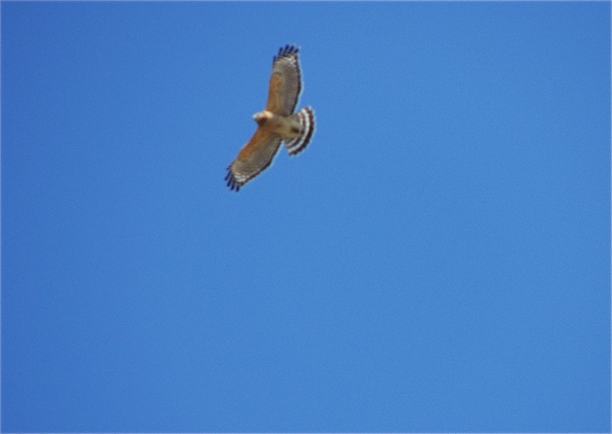 Red-shouldered Hawk. Overhead, back-lit and superb.  Just not in focus