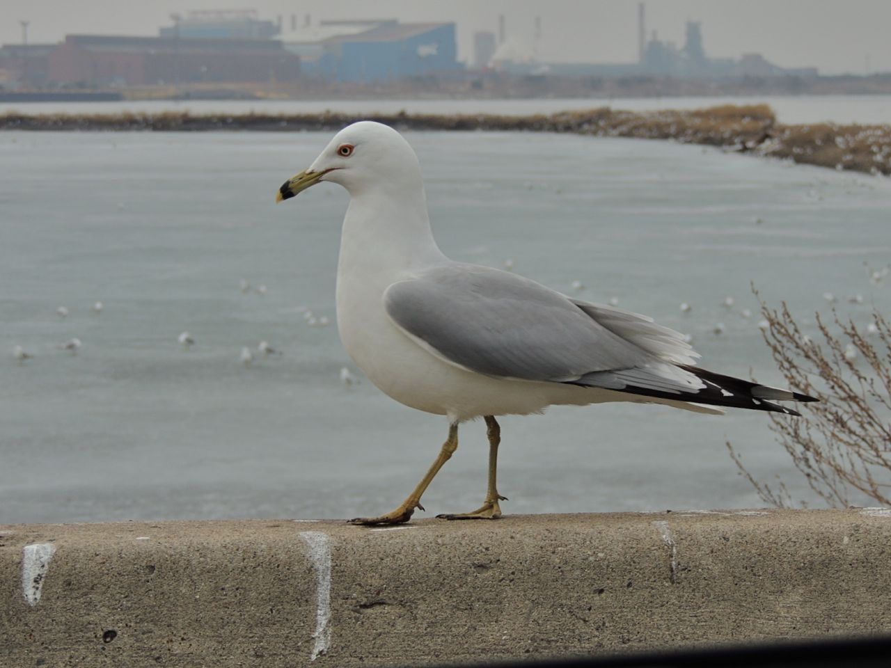 Ring-billed Gull, Tollgate ponds. 19 March 2014-2